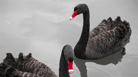 Swan Aq what is the meaning of a black swan reference