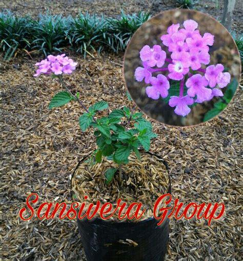 jual tanaman lantana lamtana bunga ungu orange  kuning