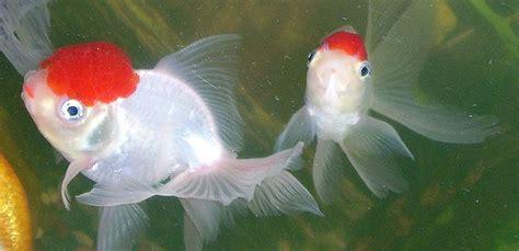 Ikan Koki Demekin puji nur paridi makalah teknik budidaya ikan hias ikan