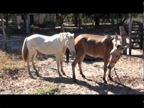 Hourse Matting by Horses Mating Animal Animal Mating Pictures