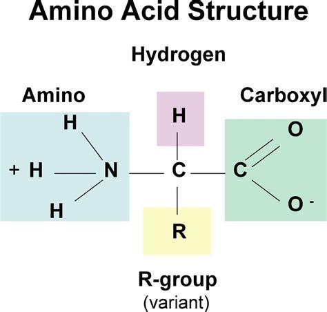 protein molecule diagram plant sources of protein building blocks amino acids