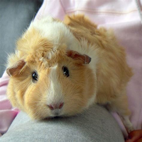Dust Pluggy Piggy Pig 10 best images about guinea pigs on guinea pig care hamsters and pet guinea pigs