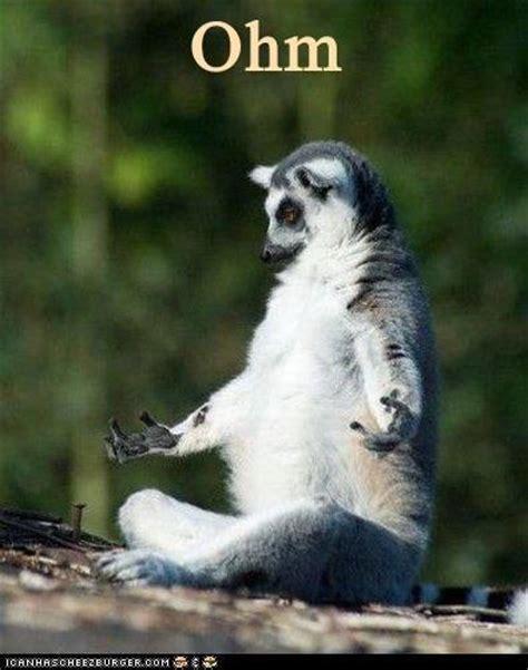 Lemur Meme - ring tailed lemur humor 16 wild animals worldwide