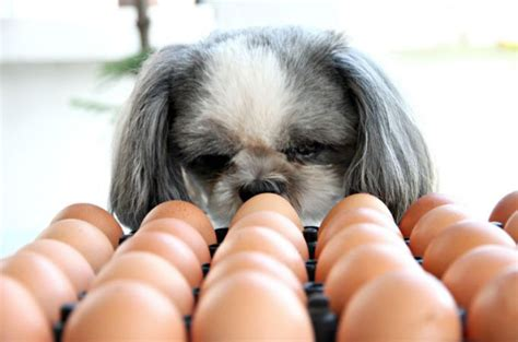 can dogs eat boiled eggs can eat eggs the amazing benefits of eggs to your pets
