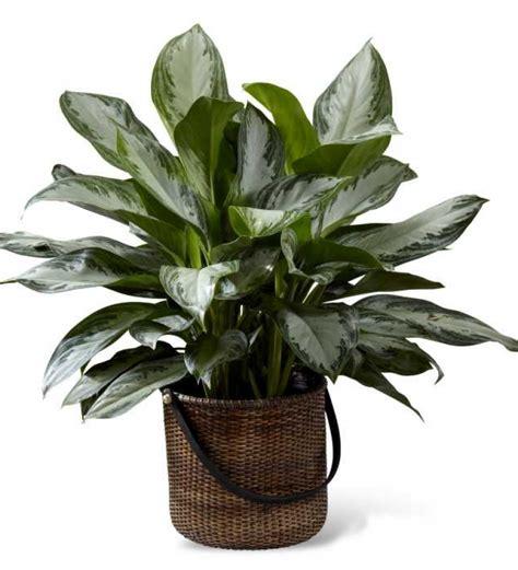 chinese evergreens sarniaflowers chinese evergreen floor plant
