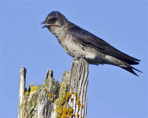 purple martin audubon field guide