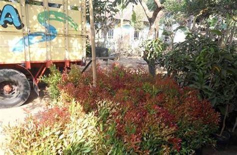 Jual Bibit Bunga Grosir dinomarket 174 pasardino bibit bunga pucuk merah murah