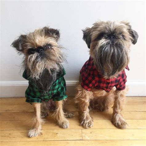 national show brussels griffon brussels griffon images breeds picture