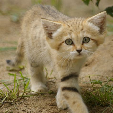 Sand Cat   Facts, Diet, Pictures, Adaptations and Predators