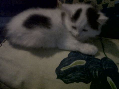 with black spots white kitten with black spots for sale southall middlesex pets4homes
