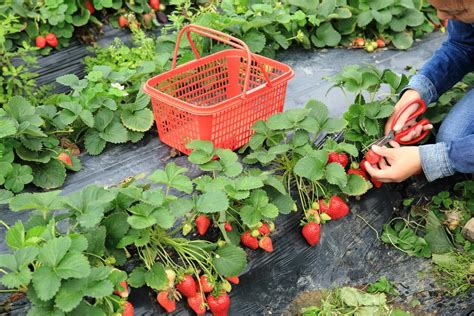 container strawberry gardening your market garden