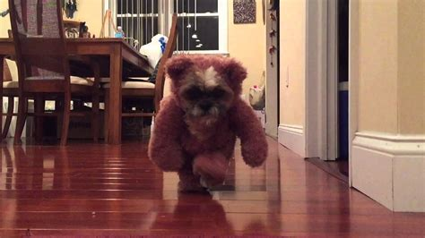 ewok shih tzu shih tzu teddy costume ewok wars