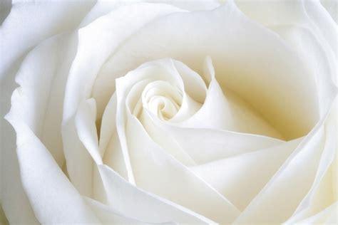 il fiore bianco il bianco