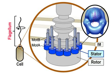 flagellar motor japanese research team elucidates structure of bacterial