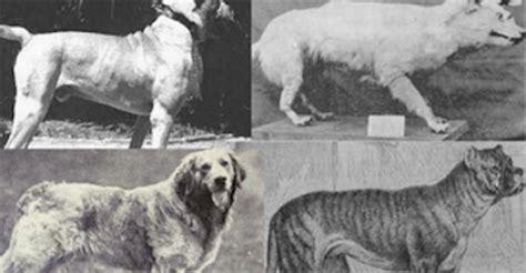 extinct breeds extinct breed list image mag