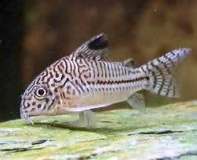 Corydoras Fish With Pictures   Fish Pictures Online