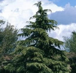 deodar cedar as a living christmas tree watters garden