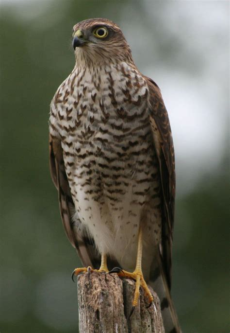 sparrow hawk bird of prey register home bird