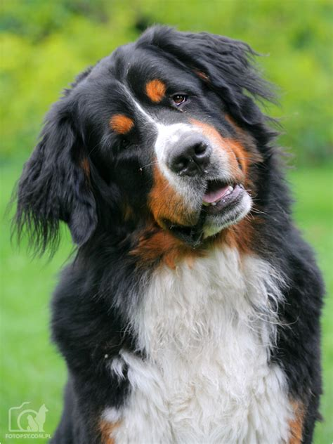 images of bernese mountain dogs 1000 images about bernese mountain on bernese mountain dogs bernese