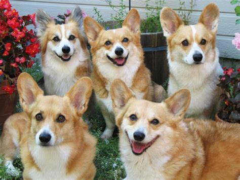 how many corgis does the no corgis are not becoming endangered business insider