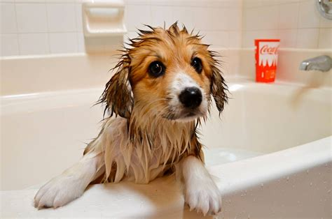 How Does A Puppy To Be To Shower by Adorable Cats And Dogs Who Really Bath Time 40 Pics
