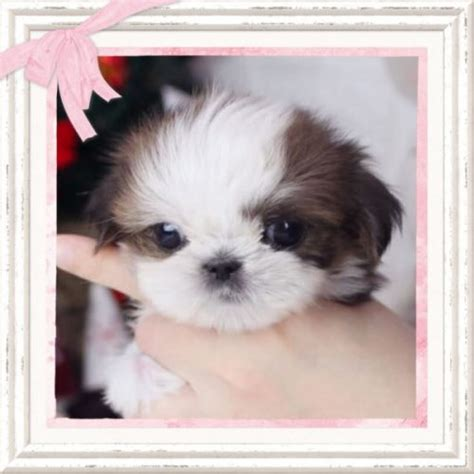 teacup shih tzu puppies houston shop by breed boutique teacup puppies