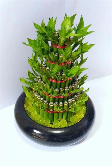 Tanaman Hias Bambu Hoki jual promo jual tanaman hias bambu hoki dalam pot keramik