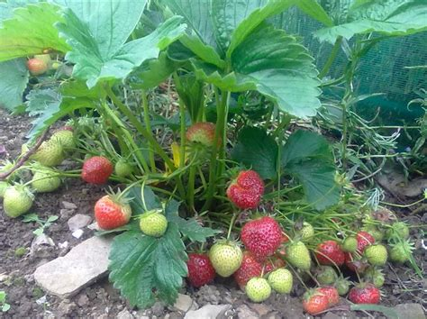 Strawberry Plant Burren Strawberry Plants