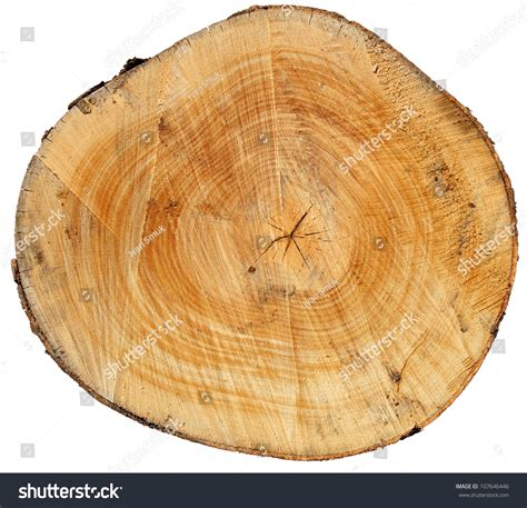 tree cross sections cross section tree trunk isolated on stock photo 107646446