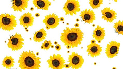 falling sunflowers isolated  white stock footage video