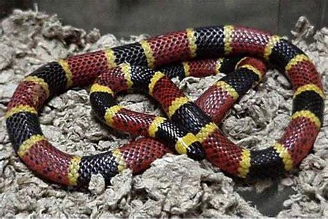 Korek King Yellow Ular Plus Asbak venomous snakes of america sl