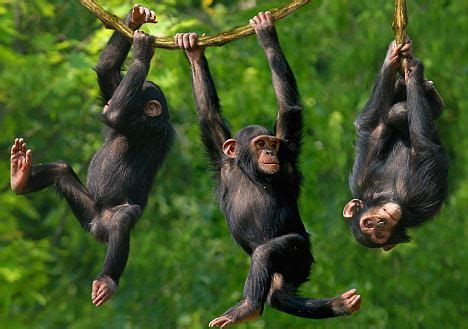 swinging monkeys fire dancing chimps shed light on man s evolution