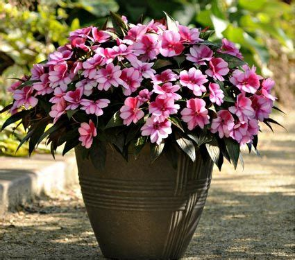 images of 6 flowers in pots 70 best flowers impatiens images on landscaping flowers garden and garden layouts