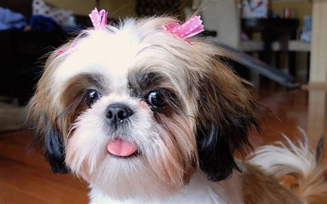 names for shih tzu pin name shih tzu on