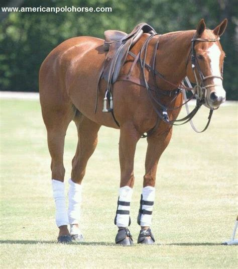 More Ponies For Polo by Aqha Polo Pony Horses Freedom Polos