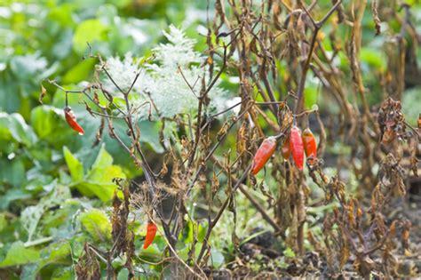 Common Vegetable Gardening Mistakes Veggie Gardener Common Garden Vegetables