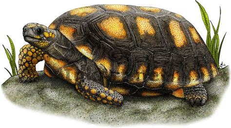 tortoise color yellow footed tortoise stock illustration