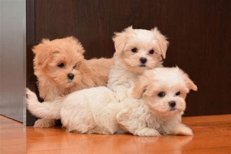 mal shi puppies for sale 301 moved permanently