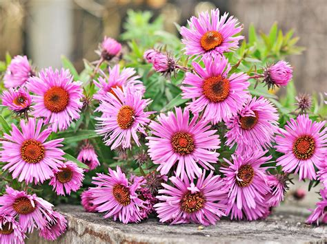 flowers that bloom in fall top 7 fall blooming flowers for a perennial garden