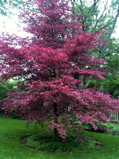 tri color beech tree problems learning to grow tri color beech a tri city