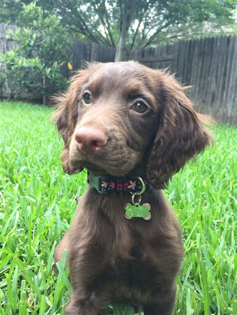 setter cross dog rescue 17 best images about irish setter mixed on pinterest