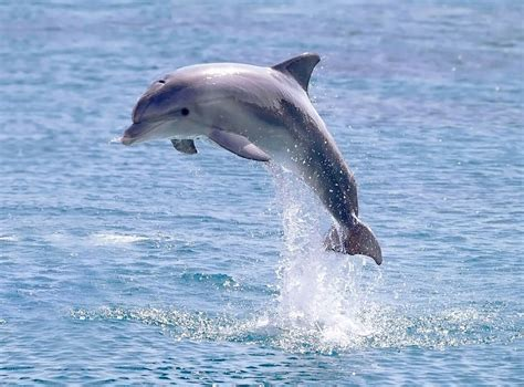 dolphins a kid s book of cool images and amazing facts about dolphins nature books for children series volume 5 books dolfijn springend uit het water 1