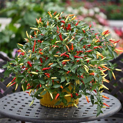 Basket of Fire Chilli Pepper   Rocket Gardens
