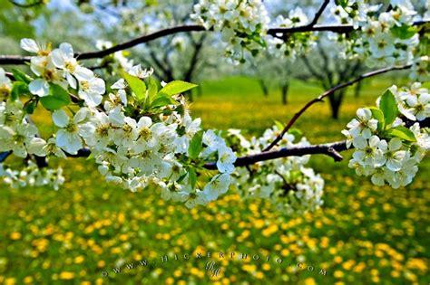 cherry blossom tree facts cherry blossom photo information