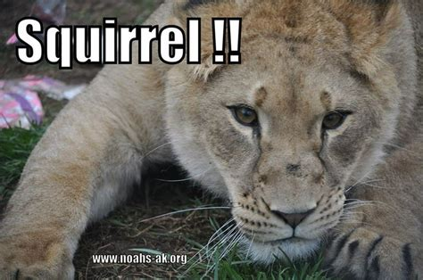 Lion Meme - lion stalk squirrel www noahs ark org lol meme