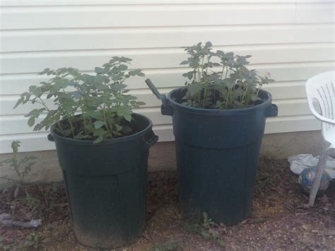 my crazy journey to homesteading growing potatoes in a trash can