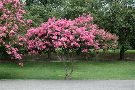 Fall Home Decor by Crapemyrtle Lagerstroemia Indica In Lincoln