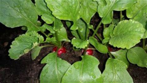 Radieschen Garten Pflanzen by Radieschen Pflanzen Und Pflegen Garten Mix