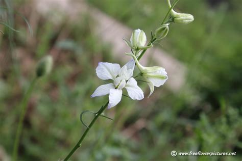 flowers bloom picture of white larkspur in bloom flower pictures 1647