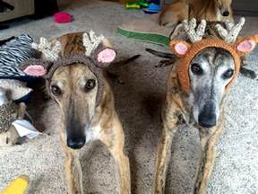 greyhound pets of america transitions sporting dogs